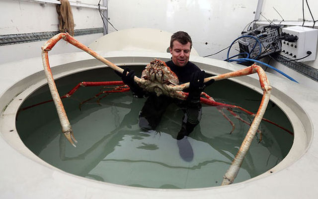 Caranguejo-aranha gigante