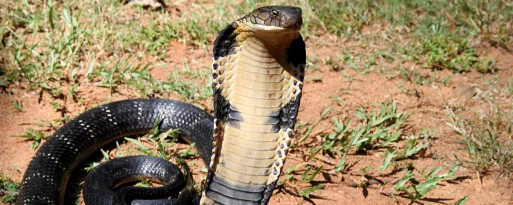 Cobra-real