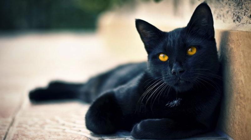 Curiosidades sobre Gato Preto