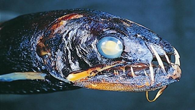 Peixe-dentes-de-sabre