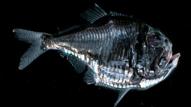 Peixe-machado
