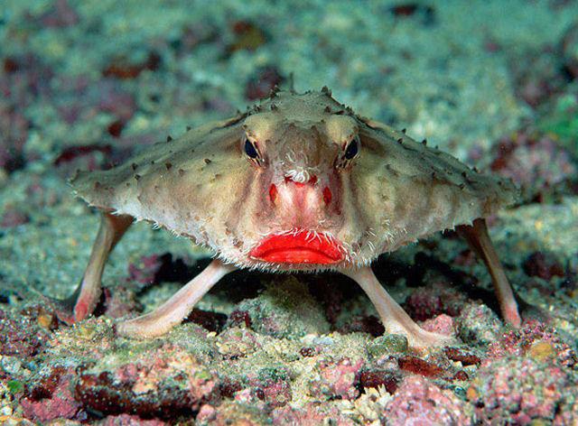 Peixe-morcego de lábios vermelhos