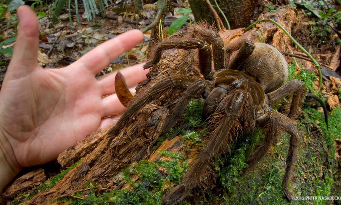 Aranha Golias